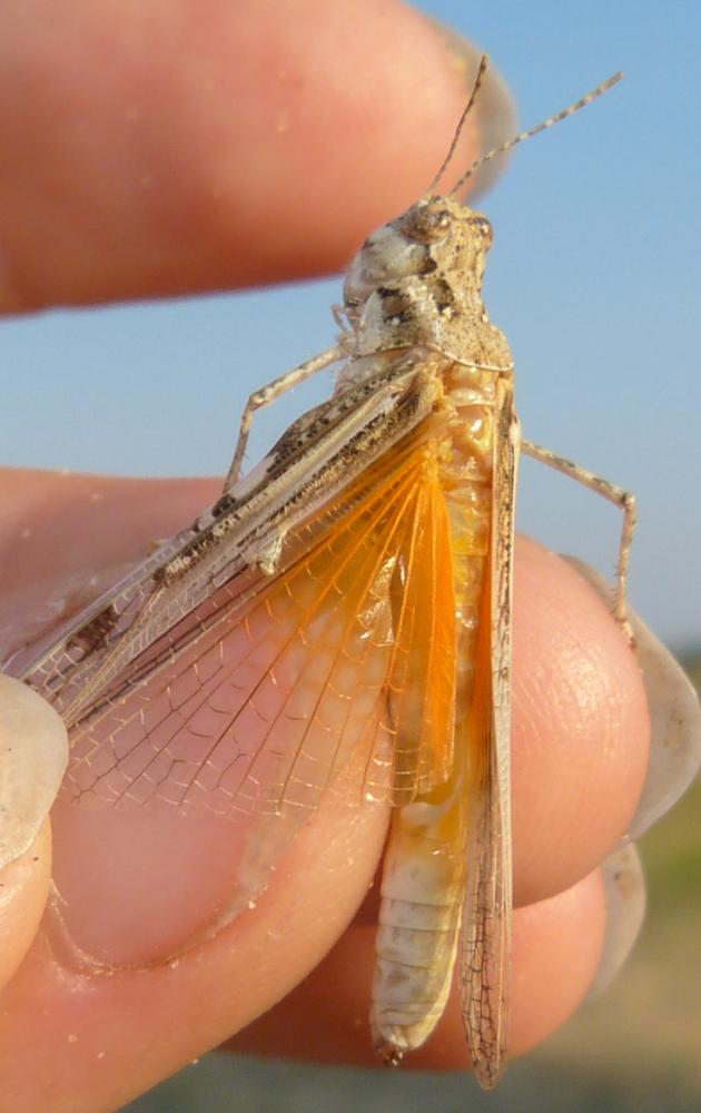 Acrotylus longipes