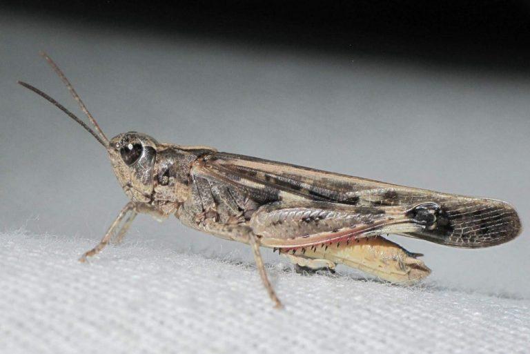 Aiolopus thalassinus
