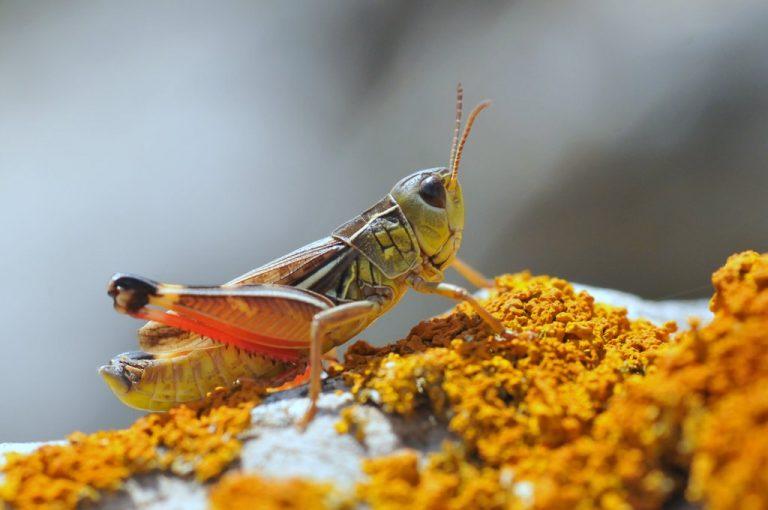 Arcyptera microptera