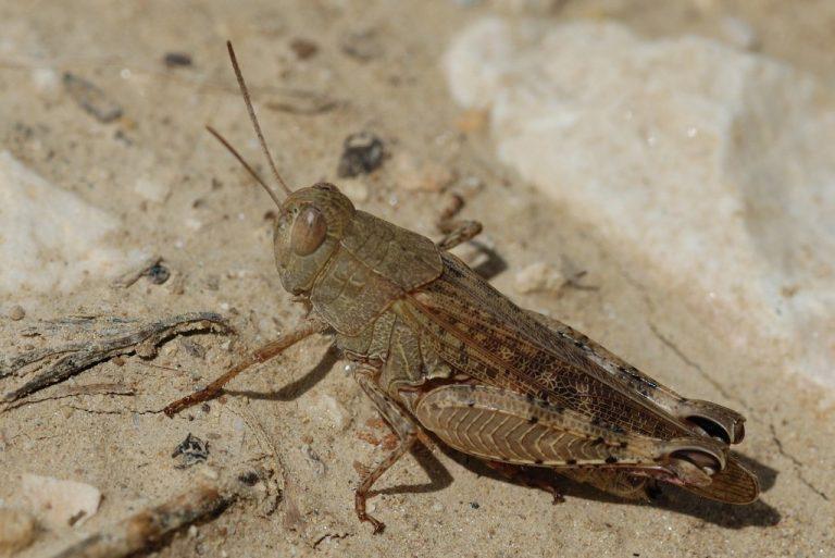 Calliptamus italicus