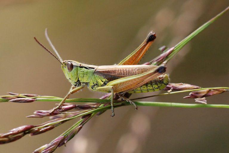 Pseudochorthippus montanus