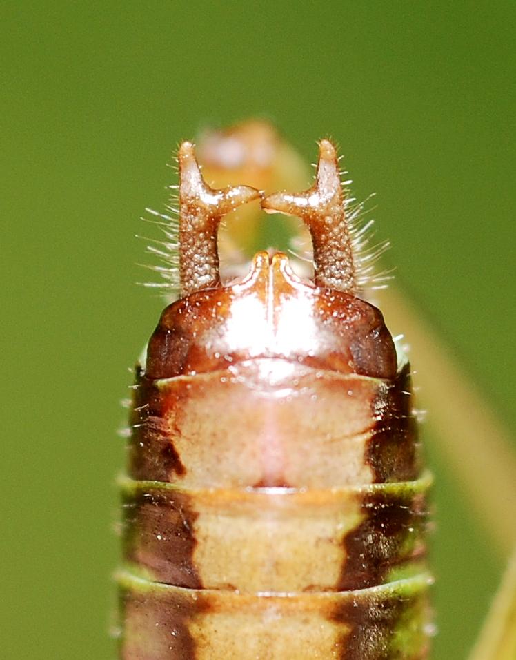 Conocephalus dorsalis potrohvég