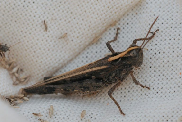 Epacromius coerulipes