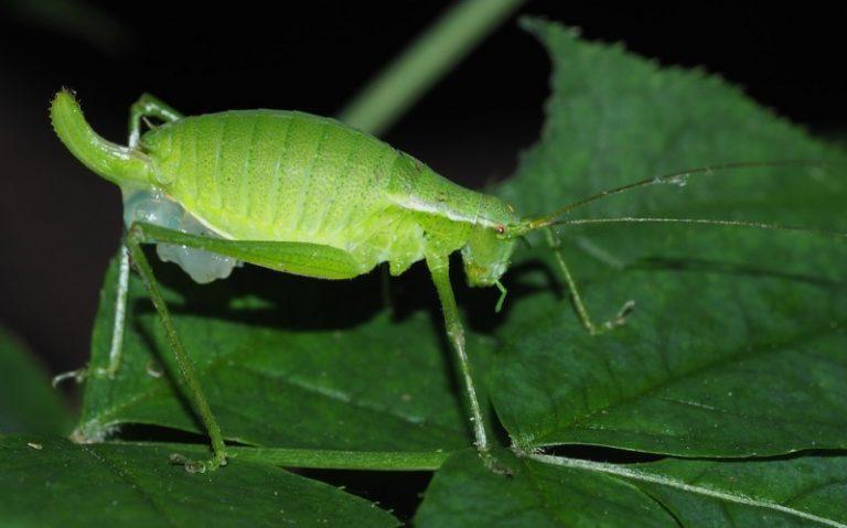 Isophya pienensis