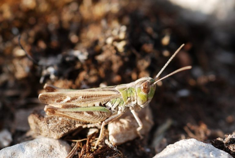 Omocestus petraeus
