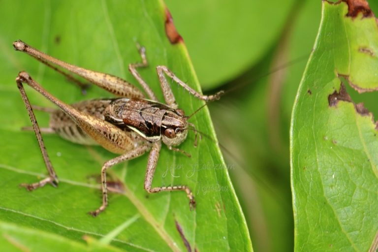 Pachytrachis gracilis