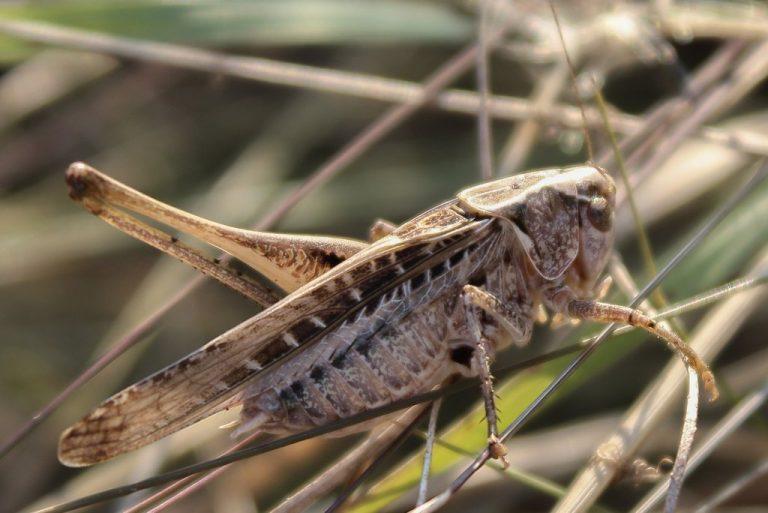 Platycleis affinis