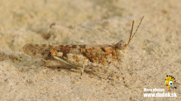 Sphingonotus caerulans