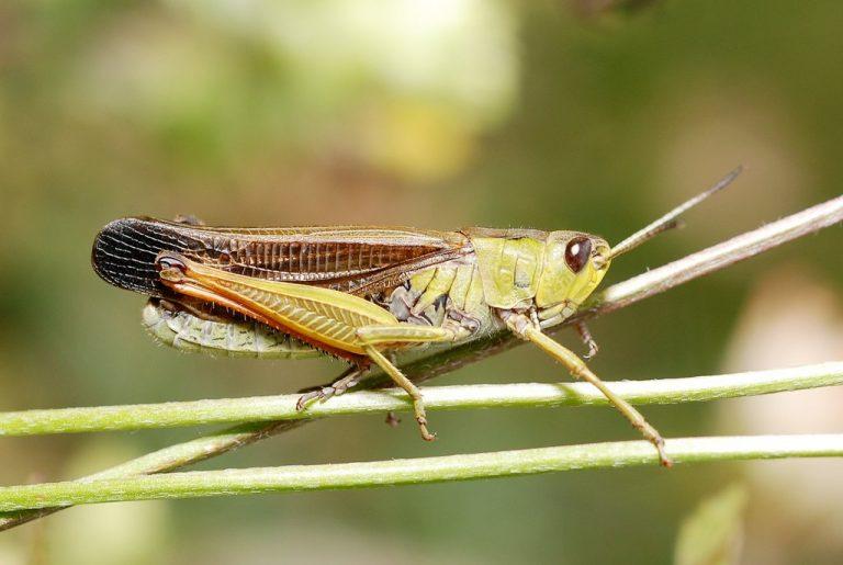 Stauroderus scalaris