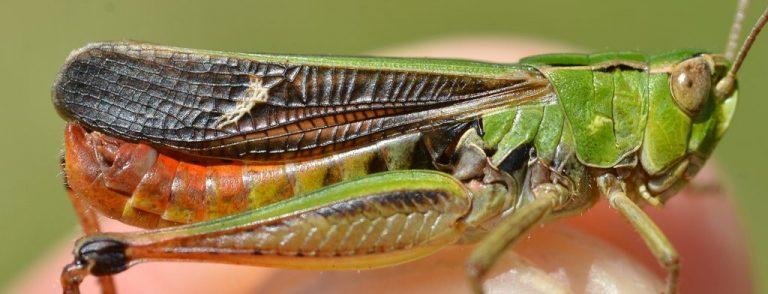 Stenobothrus lineatus