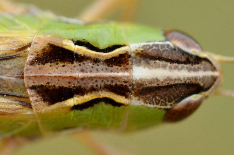 Stenobothrus nigromaculatus
