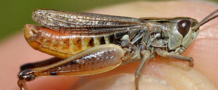Stenobothrus stigmaticus