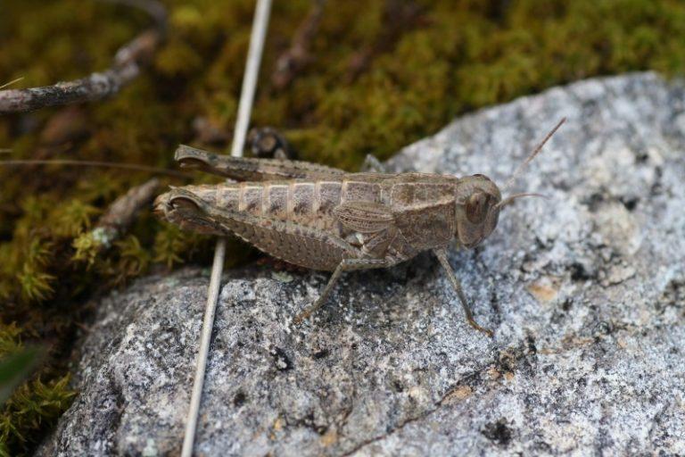 Paracaloptenus caloptenoides