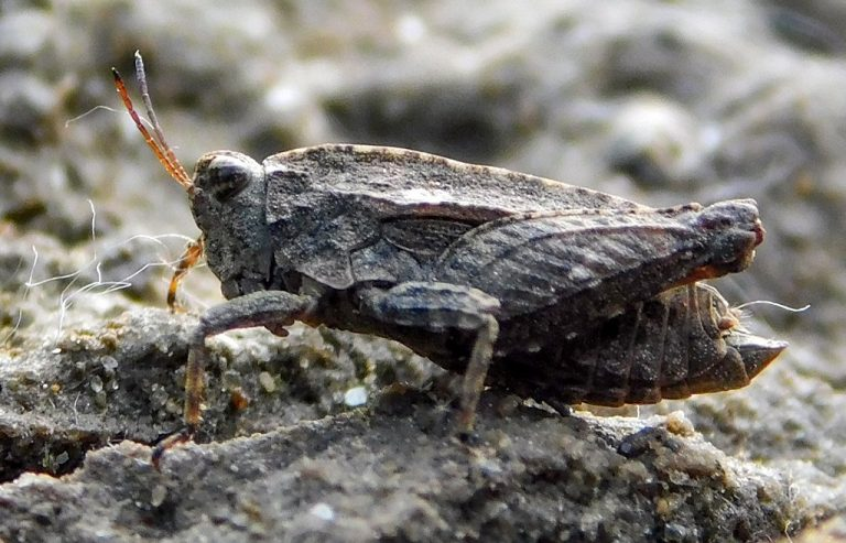 Tetrix tenuicornis