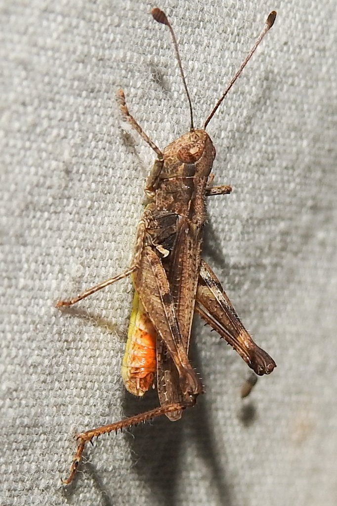 Myrmeleotettix antennatus