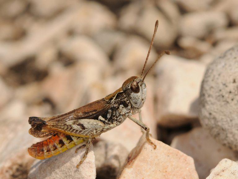 Myrmeleotettix maculatus