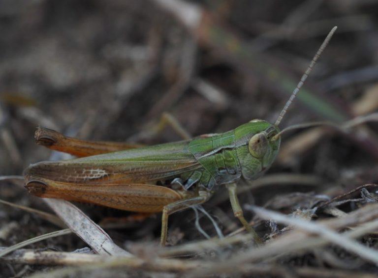 Stenobothrus fischeri